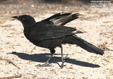 Birds of Victoria - #3 - The Little Desert White-winged Chough, Nature Lodge Grounds, Little Desert, VIC