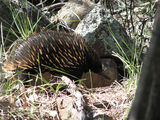 Picture relating to Mount Ainslie - titled 'Echidna'
