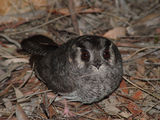 Picture of / about 'Mount Majura' the Australian Capital Territory - Australia Owlet-Nightjar