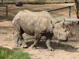 Rhino at Dubbo Zoo