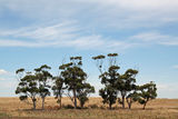 Picture relating to Wyndham Vale - titled 'Nine trees'