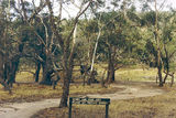 Picture relating to Mount Beckworth Scenic Reserve - titled 'Mount Beckworth Scenic Reserve; Manna Gums'