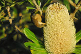 Picture relating to Mount Victoria - titled 'Eastern Spinebill eating banksia serrata at Sunset Rock'