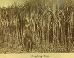 Picture relating to Mackay - titled 'Crushing cane, ca. 1883'