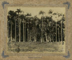 Picture relating to Mackay - titled 'Palms at Farleigh Road, Mackay, ca. 1895'