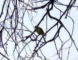 Picture relating to Yass - titled 'Yellow Faced Honeyeater'