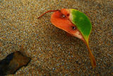 Picture relating to Maloneys Beach - titled 'Colourful leaf on Maloneys Beach'