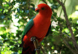 Picture of / about 'Caparra Creek' New South Wales - King Parrot