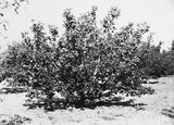 Picture relating to Yarralumla - titled 'Heavily laden apple tree at Yarralumla Nursery'