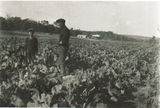 Picture relating to Amiens - titled 'Fred Lancaster and Son Tom in the Cauliflower Patch'