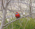 Picture relating to Yass - titled 'Crimson Rosella'