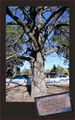 Picture relating to Berrima - titled 'Sir Henry Parkes Oak Tree - Berrima - NSW'