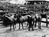 Picture relating to Toowoomba - titled 'Horses in McPhie's saleyards at Toowoomba, ca. 1936'