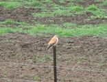 Picture relating to Yass - titled 'Australian Kestrel'