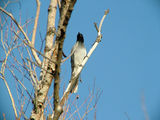Picture relating to Yass - titled 'Black Faced Cuckoo Shrike'