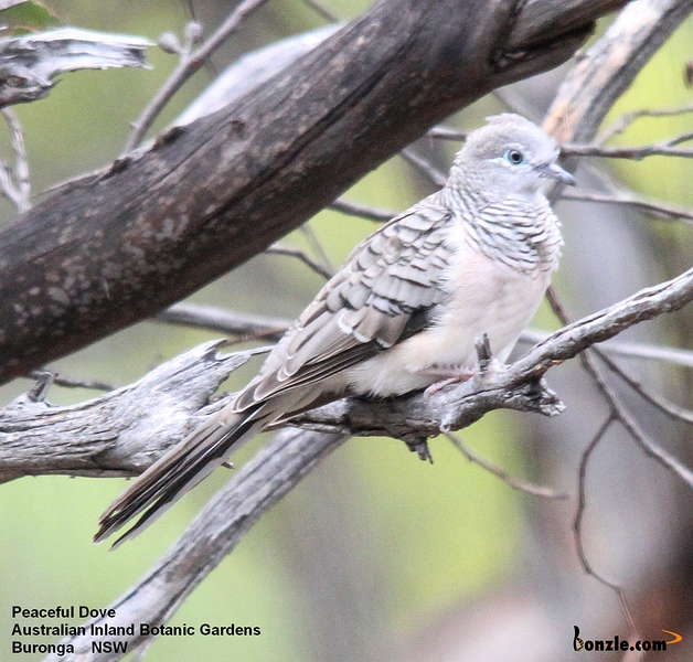 Picture of / about 'Victoria' Victoria - Birds of Victoria - #8 - The Mallee Region