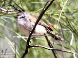 Birds of Victoria - #7(c) – East Gippsland (Mallacoota) Brown Gerygone, Shady Gully Reserve, Mallacoota, VIC