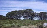 Picture relating to Bogong High Plains - titled 'Snow Gums on the Bogong High Plains'
