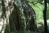 Picture relating to Murrurundi - titled 'Fig roots in Paradise Park'