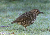 Birds of Victoria - #7(b) – East Gippsland (Orbost Region) Bassian Thrush, Bellbird Creek, VIC
