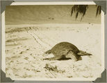 Picture relating to Bundaberg - titled 'Turtle on Mon Repos Beach, near Bundaberg, ca. 1930'