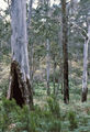 Picture relating to Werrikimbe National Park - titled 'Blue gum, Werrikimbe National Park'