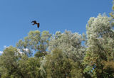 Picture relating to Nitmiluk (Krine Gorge) National Park - titled 'Black Kite'