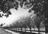 Picture relating to Yarralumla - titled 'Fruit trees in blossom at Yarralumla Nursery'
