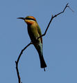 Picture relating to Timber Creek - titled 'Rainbow Bee Eater Bird @ Timber Creek'