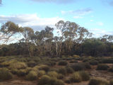 Picture relating to Mungo - titled 'Mungo Mallee Walk'