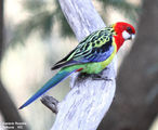 Birds of New South Wales - #4(c) - Murray River Region (Echuca / Moama) Eastern Rosella, Echuca, VIC