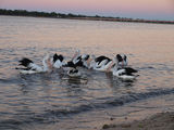 Picture relating to Bribie Island - titled 'Bribie Island Pelicans'