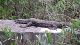 Picture relating to Raymond Terrace - titled 'Goanna at Windeyers Creek at Raymond Terrace'