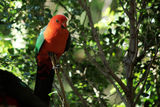 Picture relating to Caparra Creek - titled 'King Parrot'