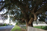 Picture relating to Tenterfield - titled 'Giant cork tree (Quercus suber) '