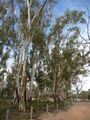 Picture of / about 'Mildura' Victoria - River Red Gums on the banks of the Murray River