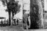 Picture relating to Taroom - titled 'Leichhardt's tree at Taroom, ca. 1914'