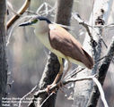 Birds of Victoria - #8 - The Mallee Region Rufous (Nankeen) Night-Heron, Hattah-Kulkyne National Park, Hattah, VIC