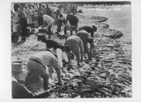 Picture relating to Redcliffe - titled 'Redcliffe-Suttons Beach net fishing'
