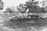 Picture relating to Watson - titled 'Pigs and piglets at Government hog farm off the Federal Highway, Watson.'