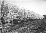 Picture relating to Yarralumla - titled 'Flowering peach trees. Yarralumla Nursery.'