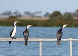 Picture relating to Western Treatment Plant - titled 'Cormorants at the Western Treatment Plant'