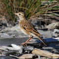 Birds of Victoria - #5 - South Gippsland Australian (Richard's) Pipit, Desalination Plant, Wonthaggi, VIC