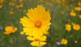 Picture relating to Passchendaele State Forest - titled 'Coreopsis, Passchendaele State Forest'