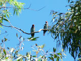 Picture of / about 'Mount Majura' the Australian Capital Territory - Breeding pair of Dollarbirds