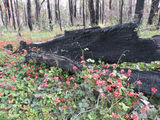 Picture relating to Manjimup - titled 'Manjimup- green and red on black burnt out log'
