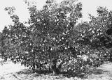 Picture relating to Yarralumla - titled 'Heavily laden pear tree at Yarralumla Nursery'