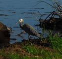 Picture relating to Lake Keepit - titled 'White faced heron'