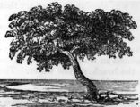 Picture of / about 'Sweers Island' Queensland - Drawing of the 'Investigator' tree on Sweers Island, 1857