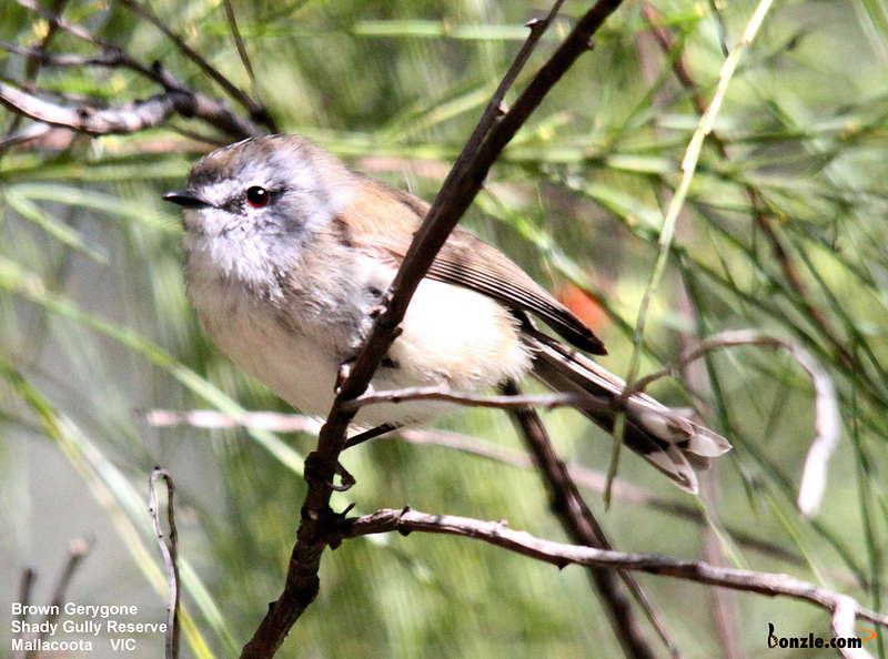 Picture of / about 'Victoria' Victoria - Birds of Victoria - #7(c) – East Gippsland (Mallacoota)